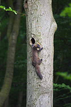 Pine Marten (Martes martes) entering nest, Doorn, Netherlands  -  Jan van der Greef/ Buiten-beeld