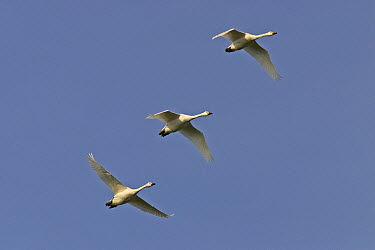 Bewick's Swan (Cygnus columbianus bewickii) trio flying, Zeldert, Netherlands  -  Jelger Herder/ Buiten-beeld