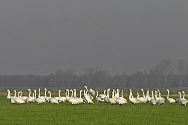 Bewick's Swan (Cygnus columbianus bewickii) watchful flock in a field, Netherlands  -  Jelger Herder/ Buiten-beeld