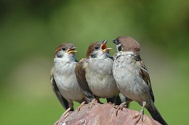 Eurasian Tree Sparrow (Passer montanus) with two juveniles, Manturovo, Russia  -  Natalia Paklina/ Buiten-beeld
