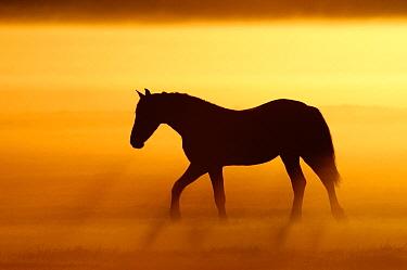 Domestic Horse (Equus caballus) in misty sunrise, Schermerhorn, Netherlands  -  Wendy Kreeftenberg/ Buiten-beeld