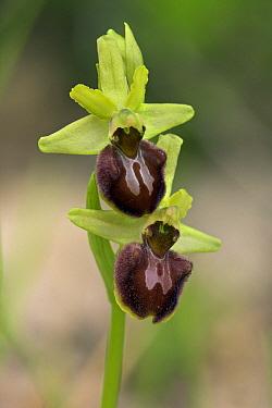 Early Spider Orchid (Ophrys sphegodes), La Brenne, France  -  Jelger Herder/ Buiten-beeld