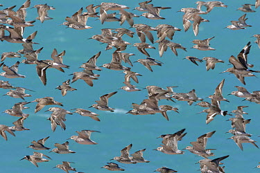 Black-tailed Godwit (Limosa limosa) and Red Knot (Calidris tenuirostris)/nflock flying at high tide, Broome, Australia  -  Luc Hoogenstein/ Buiten-beeld