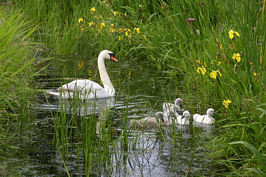 Mute Swan (Cygnus olor) with chicks swimming in a ditch, Holysloot, Netherlands  -  Jelger Herder/ Buiten-beeld
