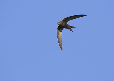Common Swift (Apus apus) flying, Grevenbicht, Netherlands  -  Ran Schols/ Buiten-beeld