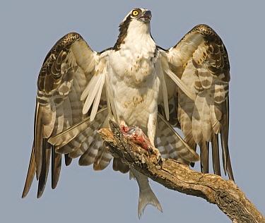 Osprey (Pandion haliaetus), Everglades, Florida  -  Ton Nagtegaal/ Buiten-beeld