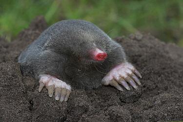 European Mole (Talpa europaea) emerging from burrow, Nijlande, Netherlands  -  Klaas van Haeringen/ Buiten-beel