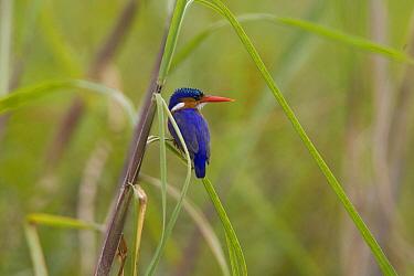 Malachite Kingfisher (Alcedo cristata), Uganda  -  Wim de Groot/ Buiten-beeld