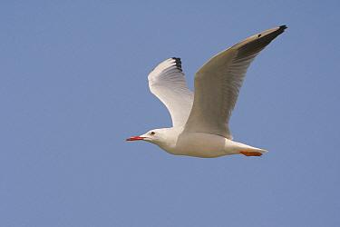 Slender-billed Gull (Larus genei) flying, Muscat, Oman  -  Daniele Occhiato/ Buiten-beeld