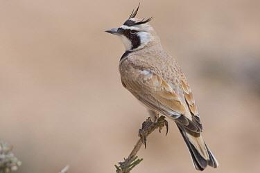 Temminck's Lark (Eremophila bilopha), Bir Soltane, Tunisia  -  Daniele Occhiato/ Buiten-beeld