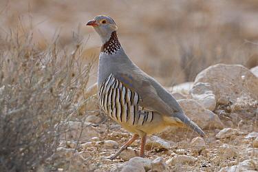 Barbary Partridge (Alectoris barbara), Matmata, Tunisia  -  Daniele Occhiato/ Buiten-beeld