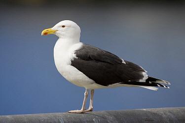 Great Black-backed Gull (Larus marinus), Vardo, Norway  -  Daniele Occhiato/ Buiten-beeld