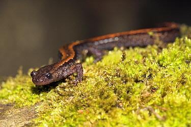 Golden-striped Salamander (Chioglossa lusitanica), Porto, Portugal  -  Jelger Herder/ Buiten-beeld