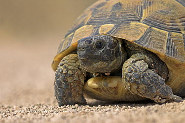 Mediterranean Spur-thighed Tortoise (Testudo graeca), Lesbos, Greece  -  Jelger Herder/ Buiten-beeld