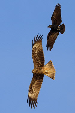 Black Kite (Milvus migrans)and Fan-tailed Raven (Corvus rhipidurus) flying, Salalah, Oman  -  Daniele Occhiato/ Buiten-beeld
