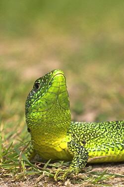 Western Green Lizard (Lacerta bilineata), Brenne, France  -  Jelger Herder/ Buiten-beeld