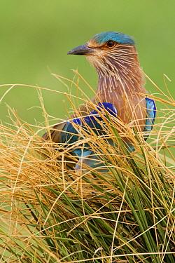 Indian Roller (Coracias benghalensis), Sohar, Oman  -  Daniele Occhiato/ Buiten-beeld