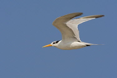 Lesser Crested Tern (Sterna bengalensis) flying, Muscat, Oman  -  Daniele Occhiato/ Buiten-beeld