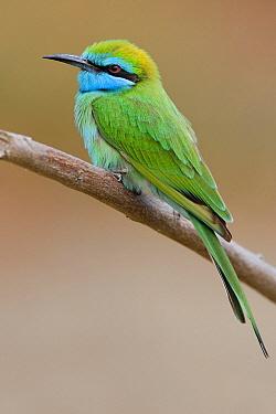 Little Green Bee-eater (Merops orientalis), Sohar, Oman  -  Daniele Occhiato/ Buiten-beeld