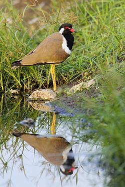 Red-wattled Lapwing (Vanellus indicus), Sohar, Oman  -  Daniele Occhiato/ Buiten-beeld