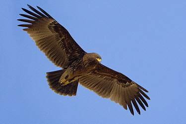 Greater Spotted Eagle (Aquila clanga), Muscat, Oman  -  Daniele Occhiato/ Buiten-beeld