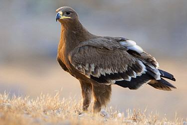 Steppe Eagle (Aquila nipalensis), Salalah, Oman  -  Daniele Occhiato/ Buiten-beeld