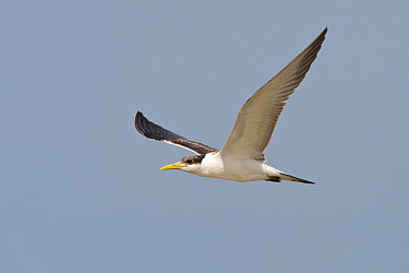 Greater Crested Tern (Thalasseus bergii) flying, Muscat, Oman  -  Daniele Occhiato/ Buiten-beeld