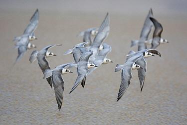 White-winged Black Tern (Chlidonias leucopterus) flock flying, Sohar, Oman  -  Daniele Occhiato/ Buiten-beeld
