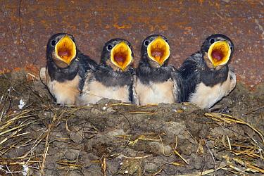 Barn Swallow (Hirundo rustica) chicks begging at nest, Bergen, Netherlands  -  Wendy Kreeftenberg/ Buiten-beeld