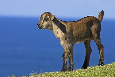 Domestic Goat (Capra hircus), Wild Coast Region, South Africa  -  Jelger Herder/ Buiten-beeld