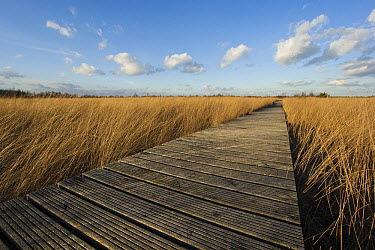 Wooden walkway in wildlife area, Haaksbergen, Netherlands  -  Bert de Vos/ Buiten-beeld