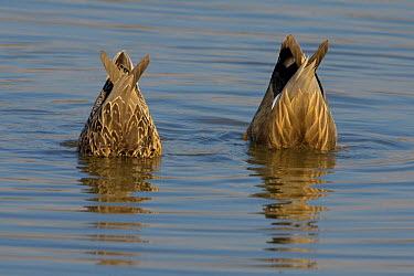 Gadwall (Anas strepera) duck pair dabbling, Florence, Italy  -  Daniele Occhiato/ Buiten-beeld