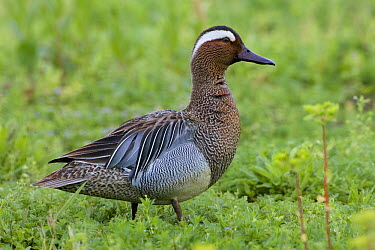 Garganey (Anas querquedula) duck, Italy  -  Daniele Occhiato/ Buiten-beeld