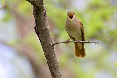 Nightingale (Luscinia megarhynchos) singing, Micciano, Italy  -  Daniele Occhiato/ Buiten-beeld