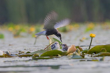Black Tern (Chlidonias niger) parent feeding its chicks, Netherlands  -  Bart Wullings/ Buiten-beeld