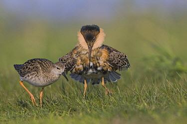 Ruff (Philomachus pugnax) displaying male with female walking by, Biebrza, Poland  -  Bart Wullings/ Buiten-beeld
