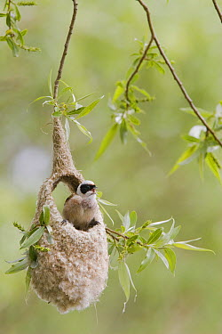 Eurasian Penduline-Tit (Remiz pendulinus) male singing from unfinished nest, Netherlands  -  Bart Wullings/ Buiten-beeld