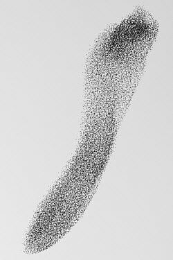 Common Starling (Sturnus vulgaris) flocking to roost, Rome, Italy  -  Manuel Presti/ Buiten-beeld