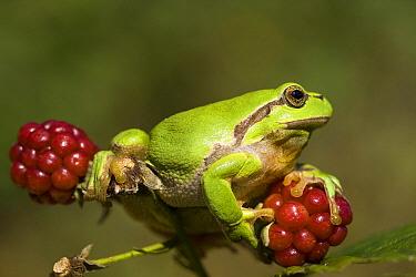 European Tree Frog (Hyla arborea) on unripe berries, Netherlands  -  John van den Heuvel/ Buiten-beel