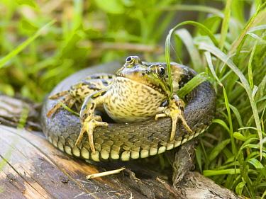 Grass Snake (Natrix natrix) struggling to swallow a Green Frog (Rana clamitans), Zator, Poland  -  Jaap Schelvis/ Buiten-beeld
