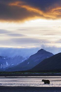 Brown Bear (Ursus arctos) silhouetted at dusk, Alaska  -  Manuel Presti/ Buiten-beeld
