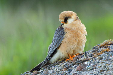 Red-footed Falcon (Falco vespertinus), Helgoland, Germany  -  Patrick Palmen/ Buiten-beeld