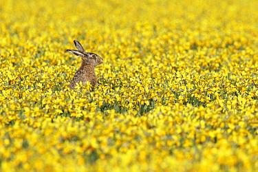 European Hare (Lepus europaeus) in Daffodil (Narcissus sp) field, Netherlands  -  Wendy Kreeftenberg/ Buiten-beeld