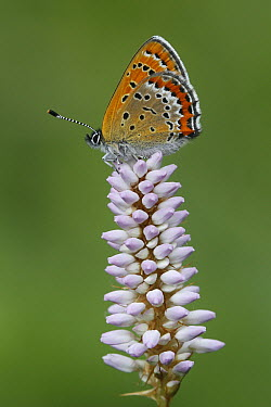 Violet Copper (Lycaena helle) butterfly on Common Bistort (Polygonum bistort), Ardennes, Belgium  -  Jan-Luc van Eijk/ Buiten-beeld