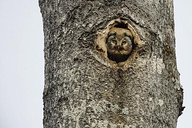 Boreal Owl (Aegolius funereus) nest in an Aspen (Populus sp) tree, Jyvaskyla, Finland  -  Dirk-Jan van Unen/ Buiten-beeld