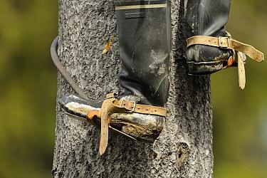 Boreal Owl (Aegolius funereus) researcher climbing a tree, Jyvaskyla, Finland  -  Dirk-Jan van Unen/ Buiten-beeld