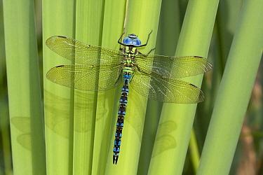 Green Hawker (Aeshna viridis) dragonfly male, Groningen, Netherlands  -  Klaas van Haeringen/ Buiten-beel