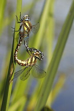 Migrant Hawker (Aeshna mixta) dragonfly mating pair, Eibergen, Netherlands  -  Jan-Luc van Eijk/ Buiten-beeld