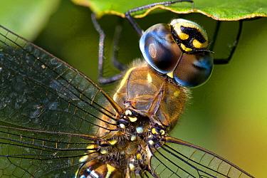 Migrant Hawker (Aeshna mixta) dragonfly, Lauwersmeer, Netherlands  -  Wouter Visser/ Buiten-beeld
