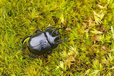 Minotaur Beetle (Typhaeus typhoeus), Drenthe, Netherlands  -  John van den Heuvel/ Buiten-beel